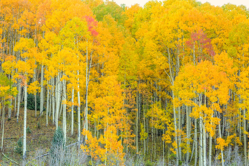 """Aspens"" Ohio Creek, Colorado"