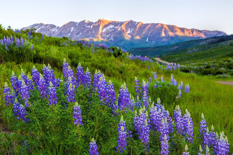 """Lupine on Ohio Creek"" Gunnison, Colorado"