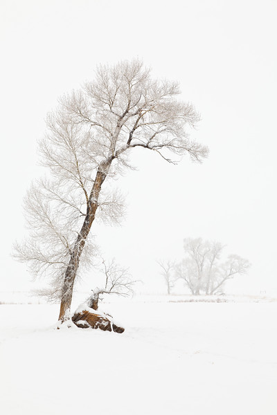 """Tree in Snow"" Gunnison, Colorado"