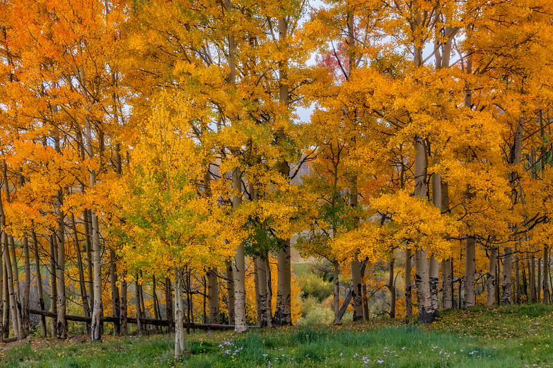 """Fall Aspen Grove"" Ohio Pass, Gunnison, Colorado"