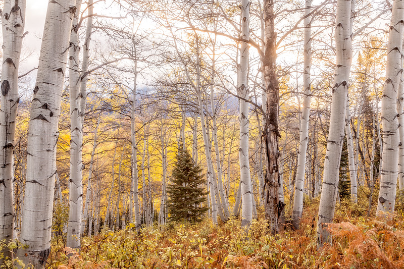 """Amongst the aspens"", Kebler Pass, Colorado"