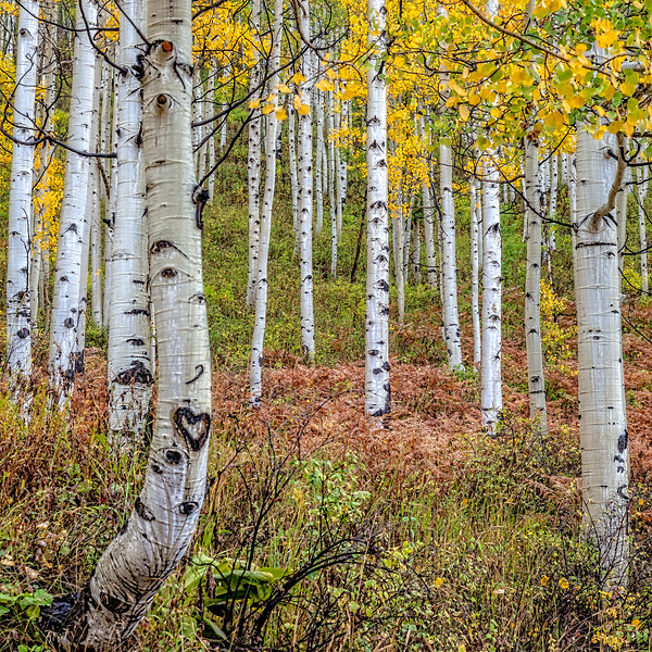 """Heart Aspen"" Ohio Pass, Gunnison, Colorado"