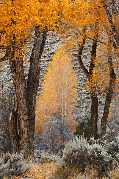"""Aspen and Cottonwood"" Hartman Rocks Gunnison, Colorado"