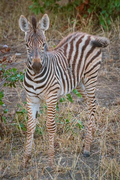 Zebra baby, Kruger Park, South Africa