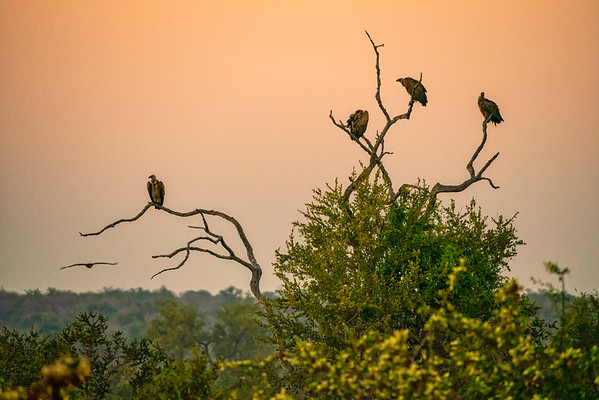 """""""Coming in for the Kill"""" Kruger Park, South Africa"""