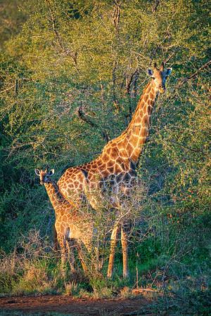 """""""Family"""" Giraffe, Kruger park, South Africa"""