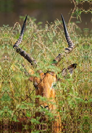"""Hiding in the Bush"" Impala, Kruger Park, South Africa"