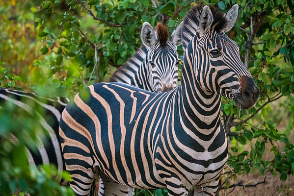 Zebra, Kurger Park, South Africa