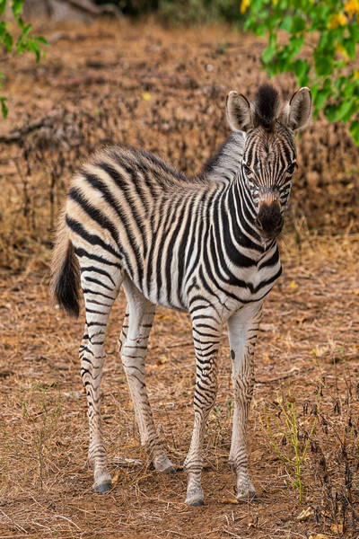 """Stripy Pajamas"" Zebra baby, Kruger Park, South Africa"