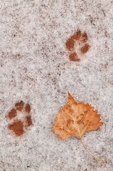 """Paw Prints in the Snow"" Capitol Reef NP, Utah"