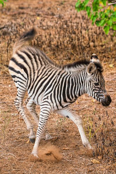 """The Joys of Youth"" ""Stripy Pajamas"" Zebra baby, Kruger Park, South Africa"