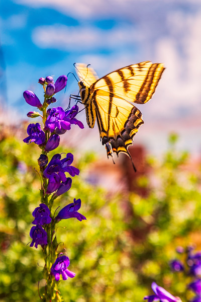 """Monarch Butterfly and flower"" gunnison colorado"