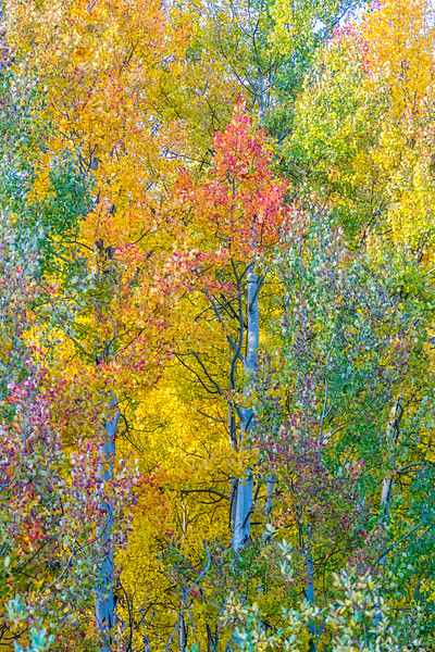 """Leaves of Many Colors"" Gunnison, Colorado"
