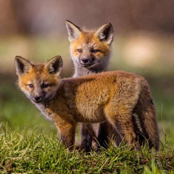 """Fox cubs"""