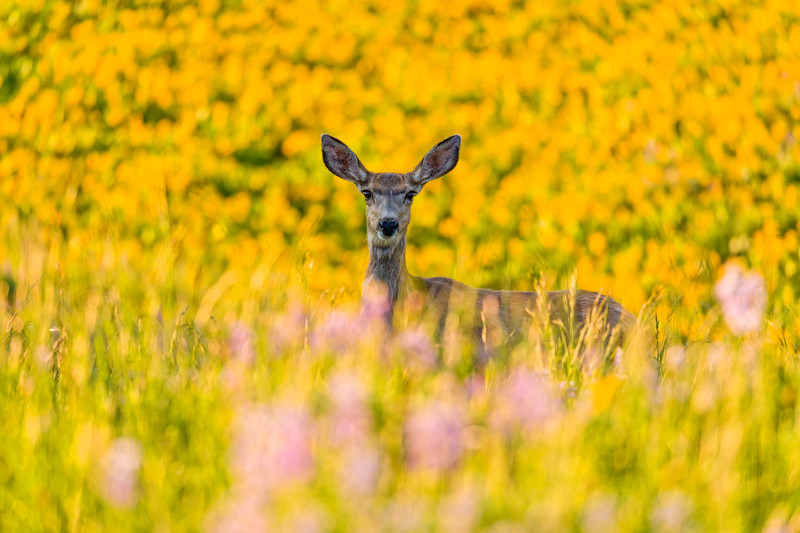 """Mule Deer in a Sea of Sunflowers"" Washington Gulch, Colorado"