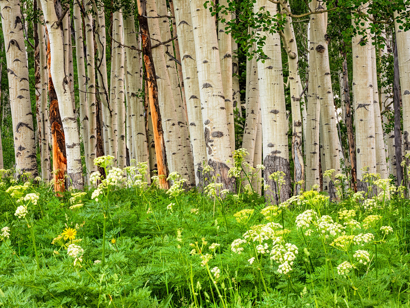 """Aspen and Wildflowers "" gunnison colorado"