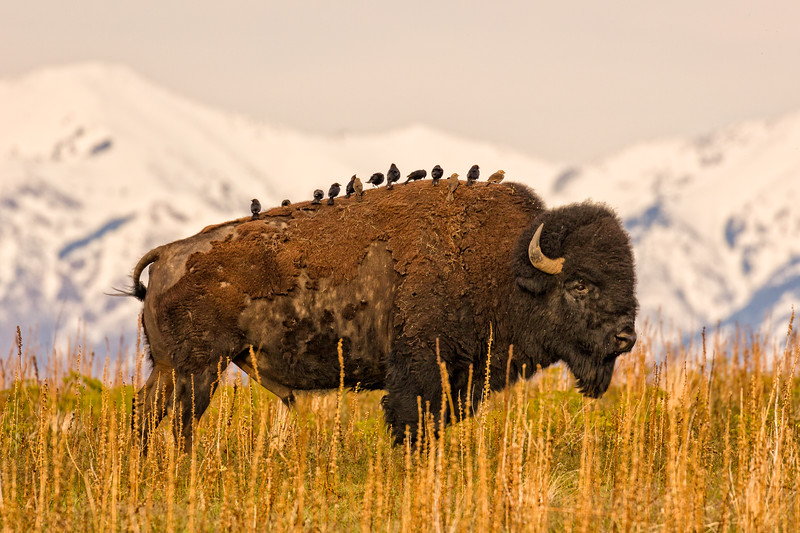 """Bison & Birds on Antelope Island"" Salt Lake, Utah"