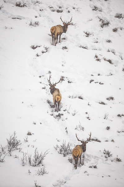 """Elk in the Snow"" Gunnison, Colorado"