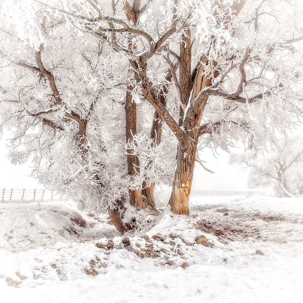"""Winter Cottonwood and Frost"" Gunnison, Colorado"