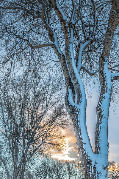 """Cottonwood and Snow"" Gunnison, Colorado"