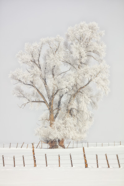 """Cottonwood Frost"" Gunnison, Colorado"