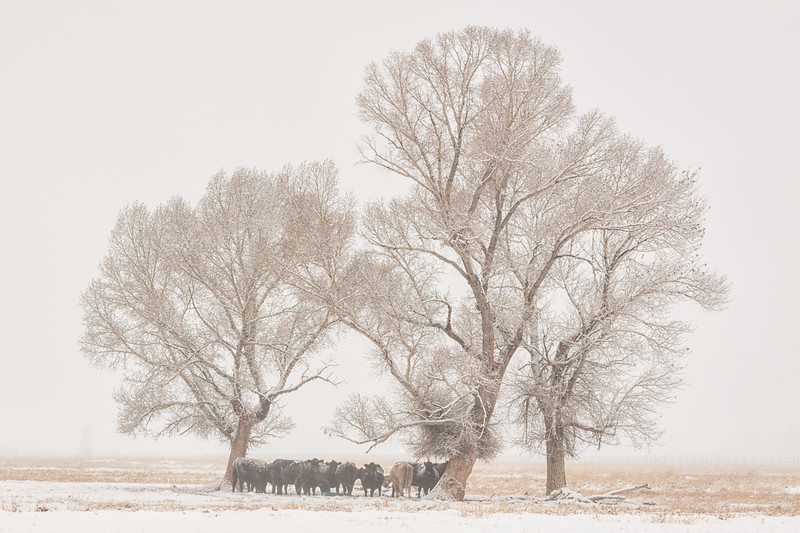 """Cattle in the Snow"" Gunnison, Colorado"