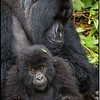 "Honorable Mention - ""Munyinda & Rwunguko"" Mountain Gorillas, Rwanda"