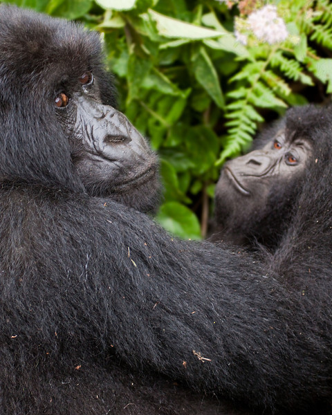 """Mother & Son"" Mountain Gorillas, Rwanda"