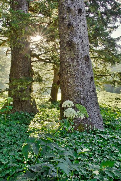 DF.2690 - douglas fir and cow parsnip, Arch Rock Cove, Samuel H. Boardman State Scenic Corridor, OR.