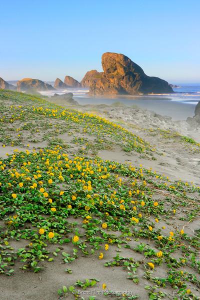 DF.2595 - yellow sand verbena and seastacks, Meyers Creek Beach, Pistol River State Park, OR.