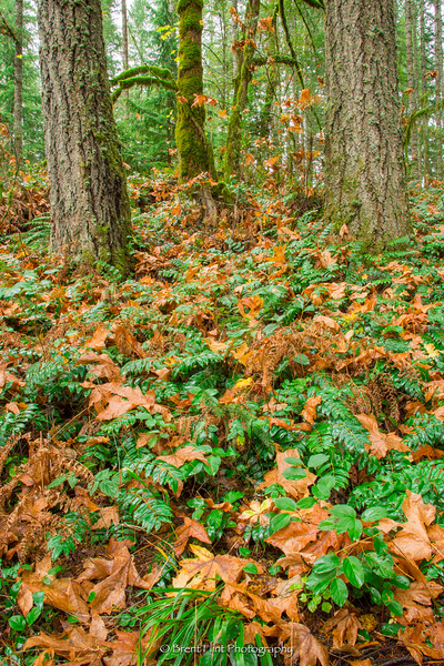 DF.4181 - plants and fall leaves on forest floor, McDowell Creek Falls County Park, OR.