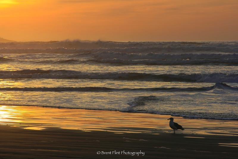 DF.611 - gull at sunset, Seaside, OR.