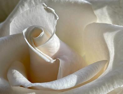 White Rose, Portland, 2020