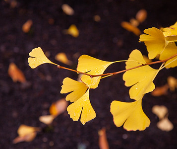 Gingko in Rain, Portland, 2020