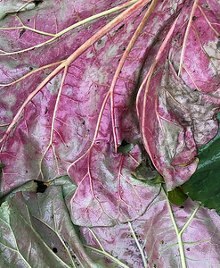 Chard Leaves in Rain, Portland, 2020