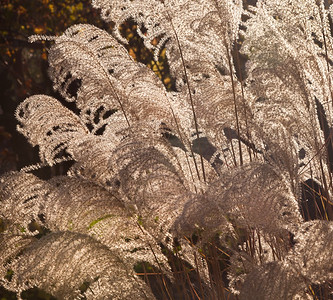 Chinese Silver Grass, Last Light, Sonoma County 2014