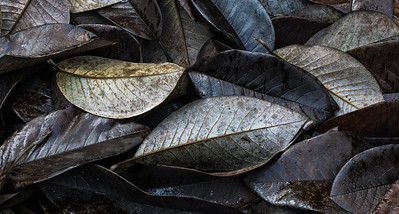 Magnolia Leaves, Portland, 2016