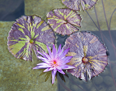 Water Lilies, Getty Villa, Los Angeles, 2008
