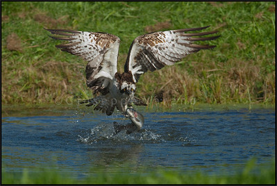 Osprey ( Pandion haliaetus )  Finland  Giuseppe Varano - Nature and Wildlife Images - Birds and Nature Photography