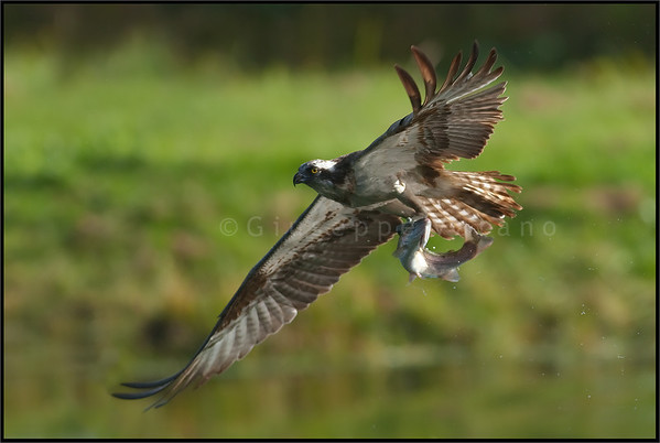 Osprey ( Pandion haliaetus )  Finland  Giuseppe Varano - Nature and Wildlife Images - Birds and Nature Photography