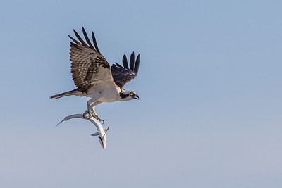 An osprey with a barracuda!