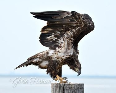 Eagle_GLO0111