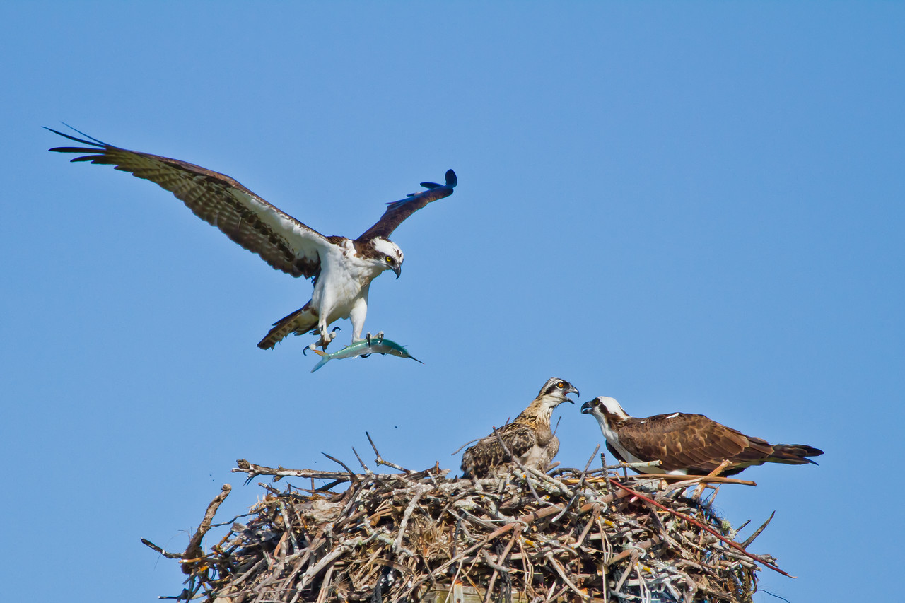 Tigertail's male bringing a fish (ballyhoo) to the nest.