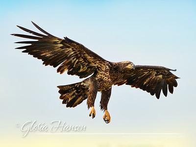 Eagle_GLO9907