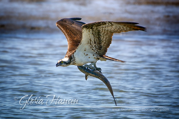 Osprey-with-fish_GLO4438-print-D