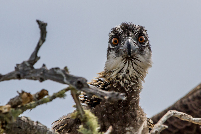 A young osprey chick looks out of the nest.