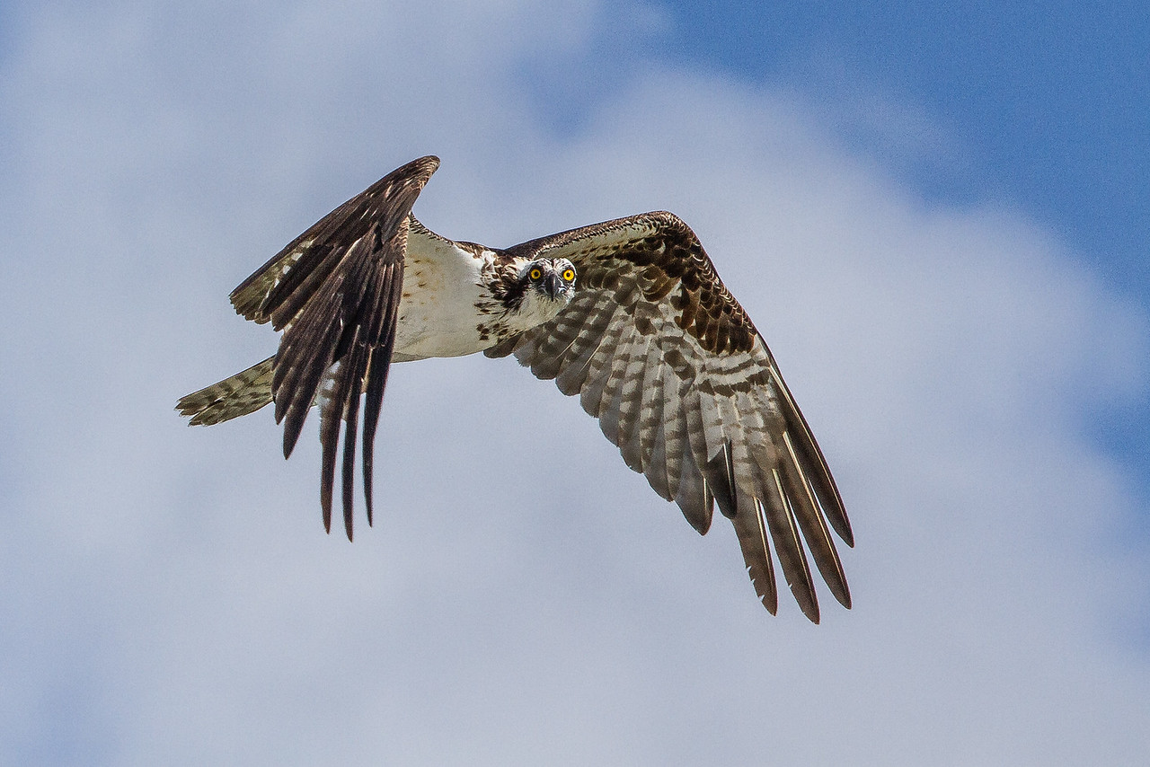 Tigertail osprey  fishing