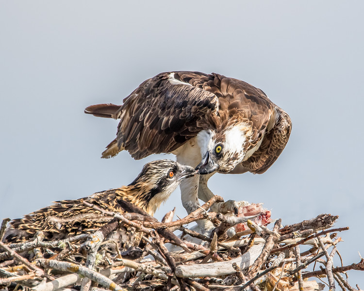 Female osprey feeding a chick