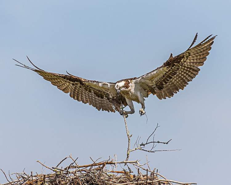 The female brings a stick to the nest