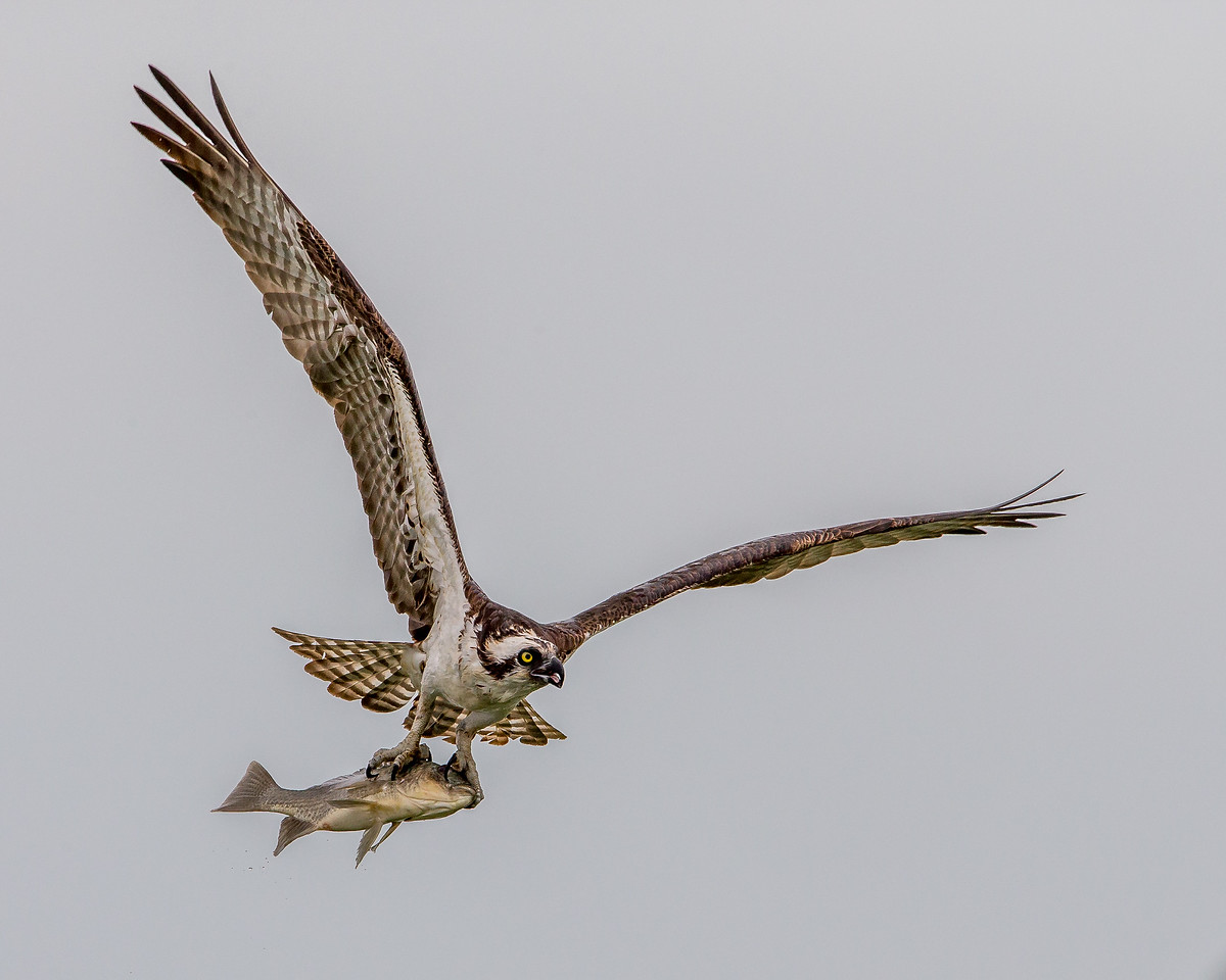 Osprey and fish in Eagle Lakes Park